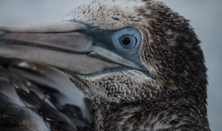northern gannet, birding, birds, florida