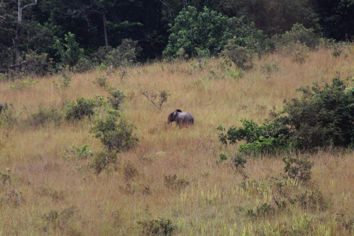 forest, elephant, gabon, africa, travel