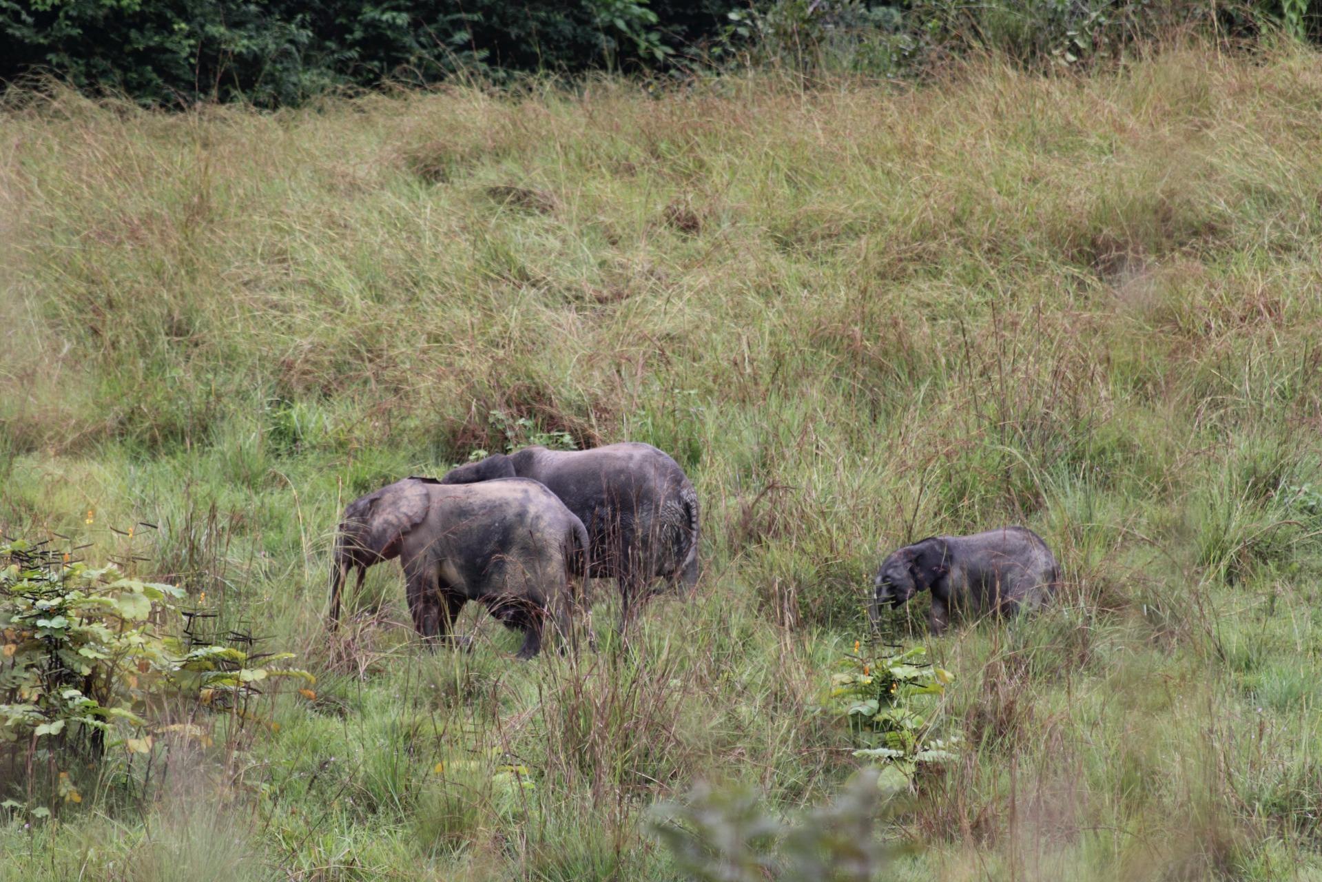 elephants, forest, gabon, africa
