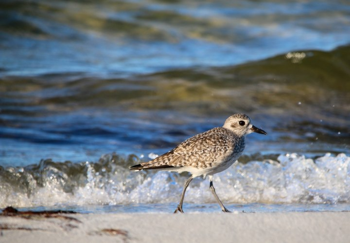 plover, shorebird, birding, nature, travel, florida