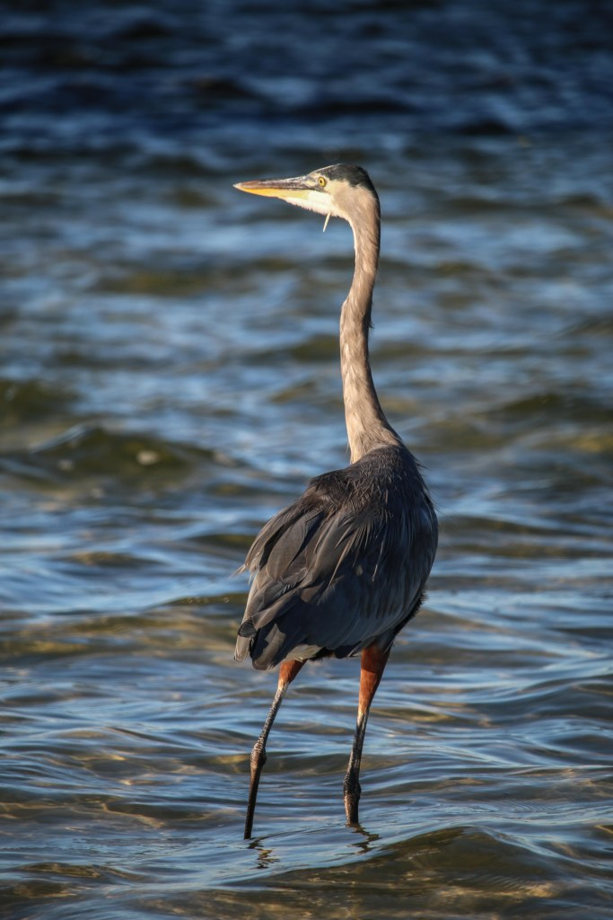 heron, florida, nature, wildlife, birding