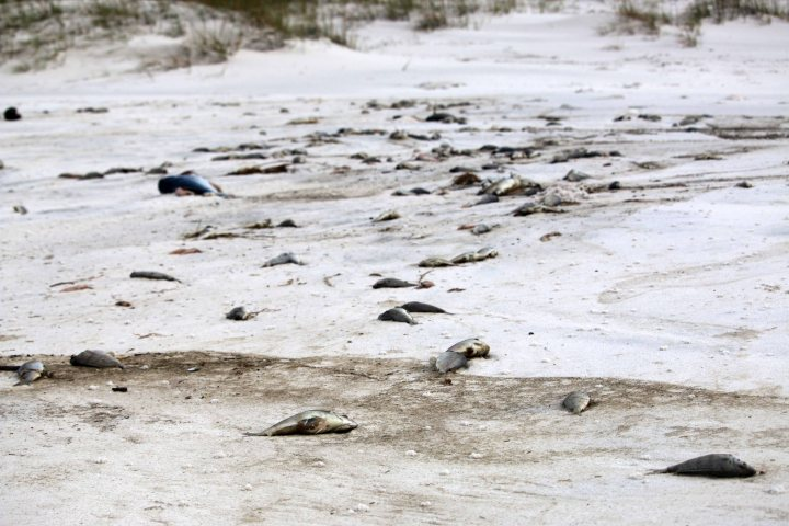 florida, red tide, fish, panhandle