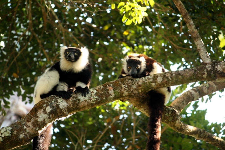 A pair of the black and white ruffed lemurs I followed.