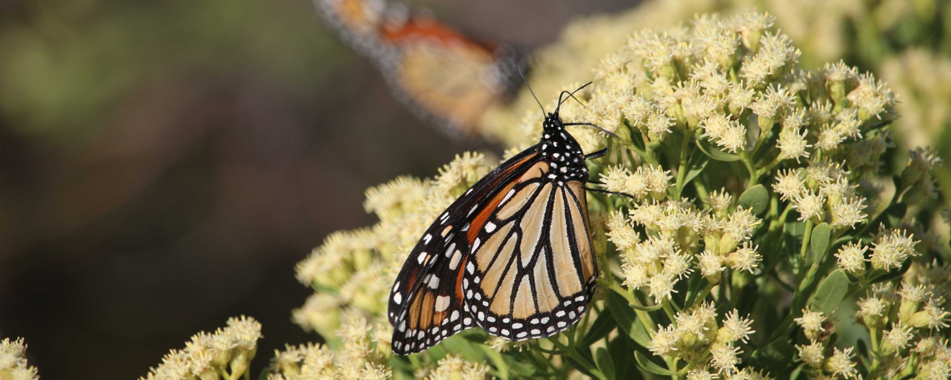 monarch, butterfly, migration, florida, nature