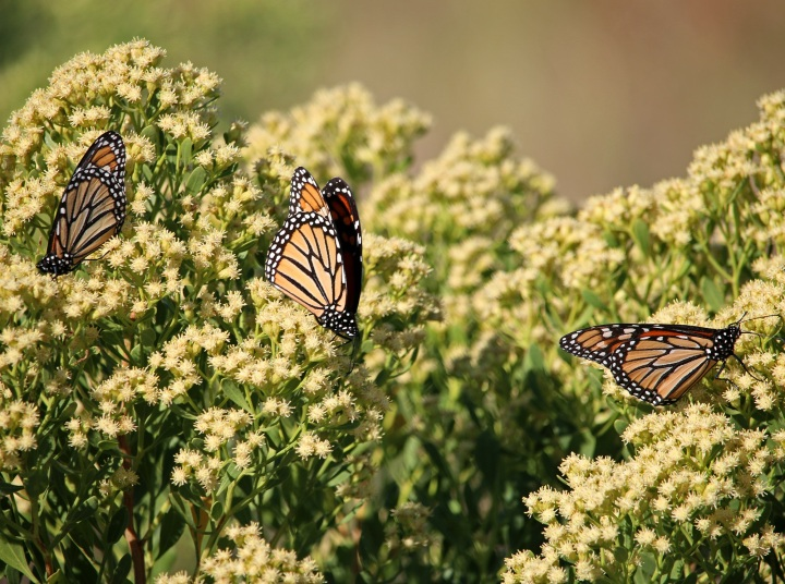 monarch, butterfly, migration, florida