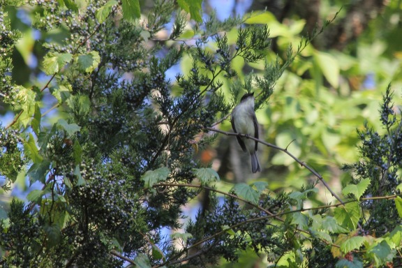 This flycatcher put on an elegant display, flitting about the tree's leaves catching insects for dinner
