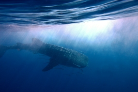 Whale shark, seychelles, africa, explore
