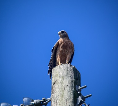 red-shouldered hawk, hawk, birding, florida, kids
