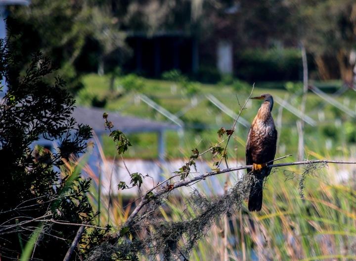 anhinga, birding, florida, nature, explore