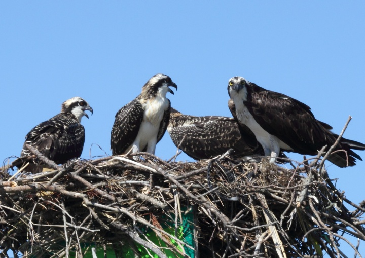 osprey, virginia, bird