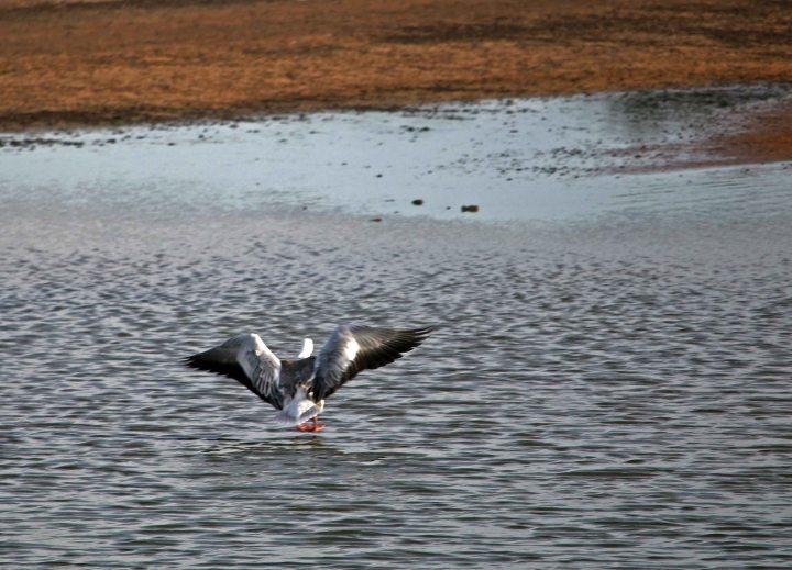 snow goose, ruff, birding, florida, okaloosa