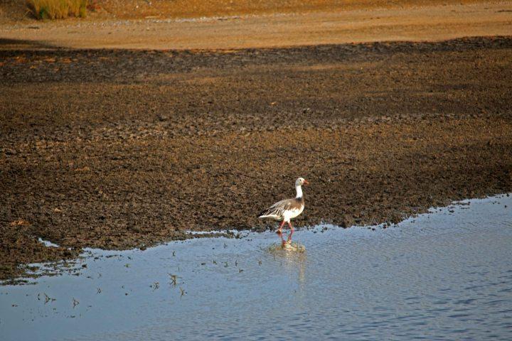 snow goose, okaloosa, florida, birding