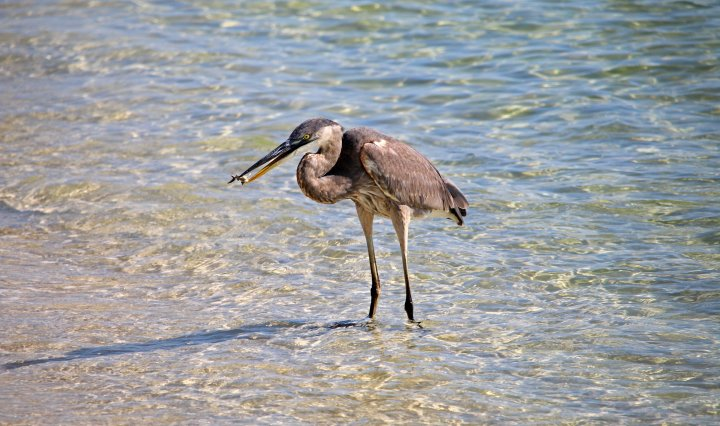 great blue heron, pollution, nature, birding