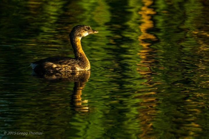 bird, nature, photography, grebe