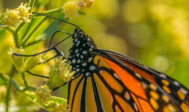 monarch, butterfly, florida, okaloosa