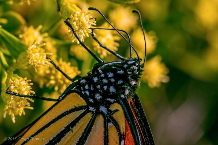monarch, butterfly, florida, okaloosa