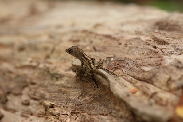 lizard, hillsborough river state park, florida