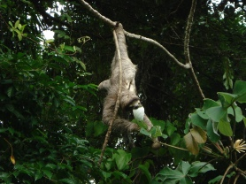 "Stephanie Panlasigui: Stop the car - a mono perezoso! An animal commonly referred to in Spanish as ""mono perezoso"" (or ""lazy monkey"" in English) must certainly be a slow mover. In Panama, I encountered this Three-toed Sloth during my first ever trip abroad, as our crew drove back to the laboratory from a mangrove forest research site. It seemed perfectly content to continue munching away, and show off hanging from just one foot, before his small audience. In other areas sloths are also called ""oso perezoso"" (meaning ""lazy bear"" in English). Sloths sleep 15 to 20 hours per day, and generally move at the leisurely speed of one foot per minute. Surprisingly though, Three-toed Sloths are quite good swimmers!"