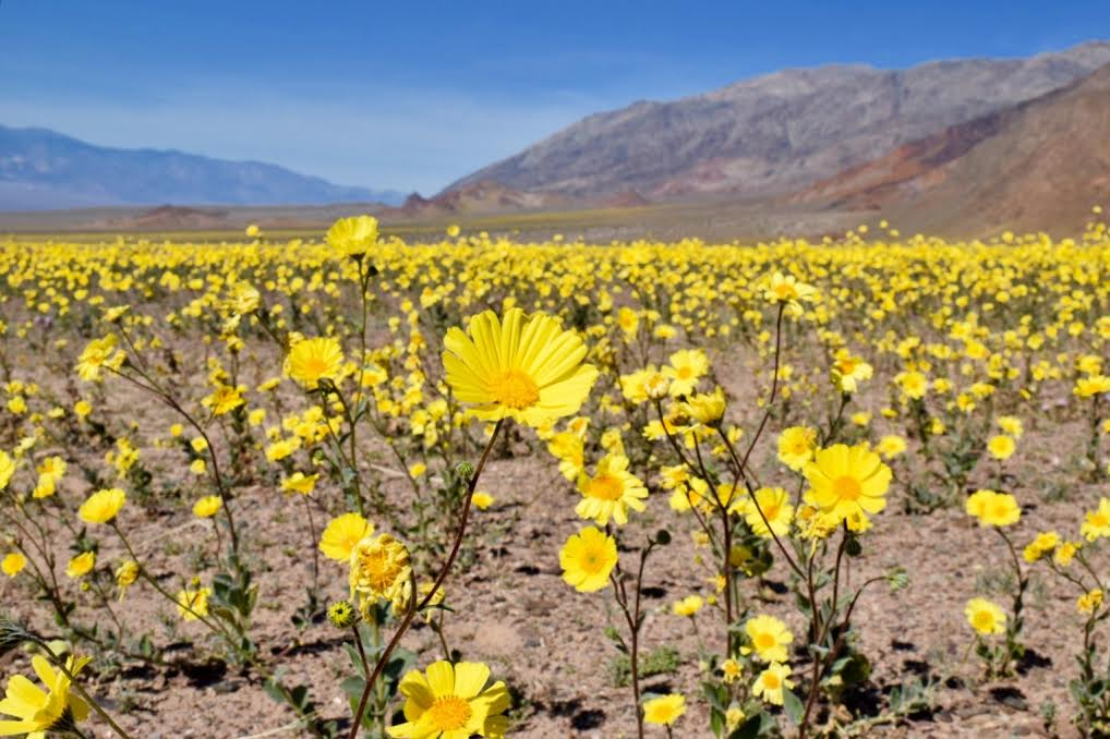 nature, death valley, bloom, blossoms, flowers
