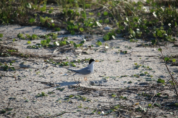 skimmer, birding, bird, florida, baby, chicks, least tern
