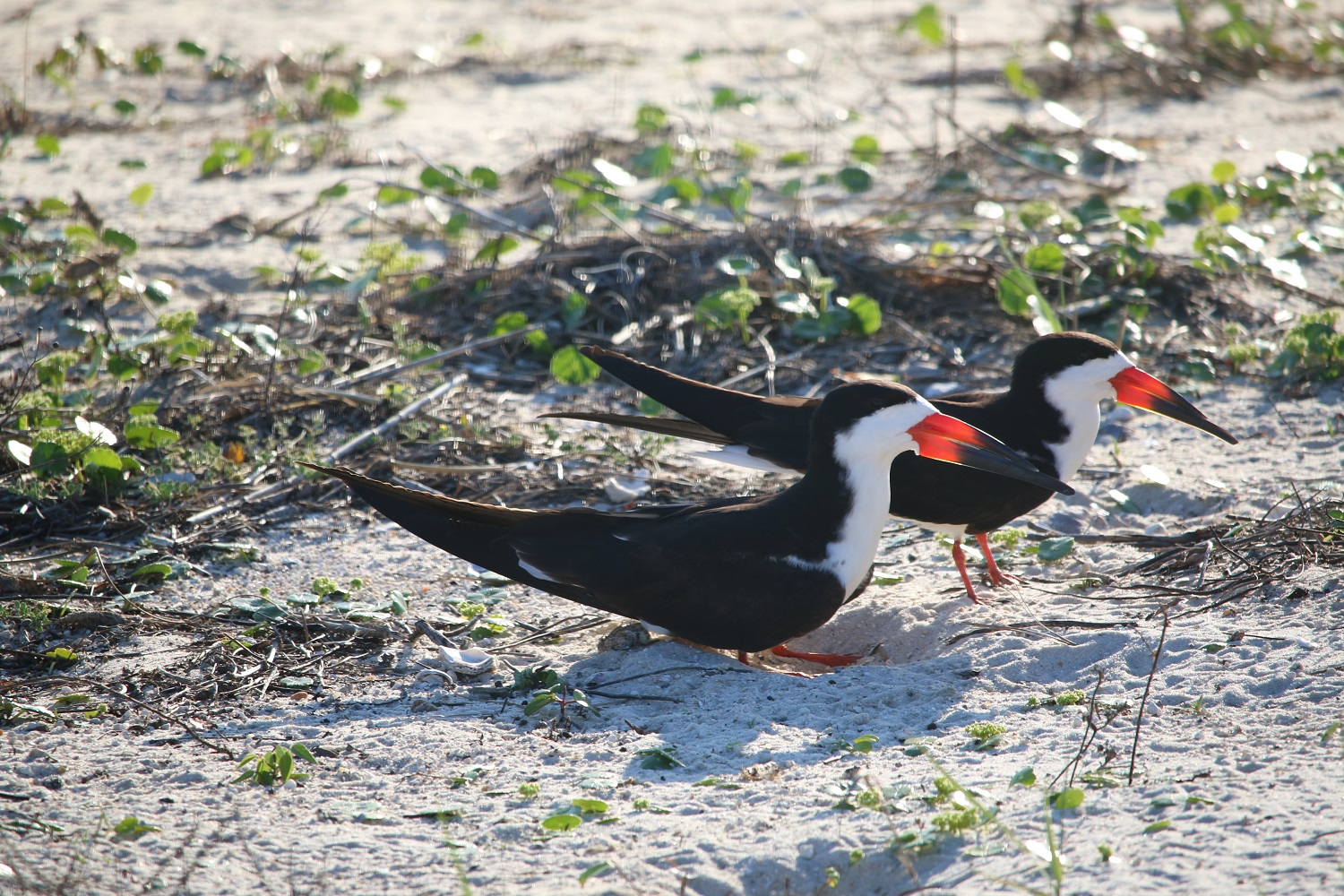 Nesting Terns and Skimmers in Navarre, FL – One World, Two Feet