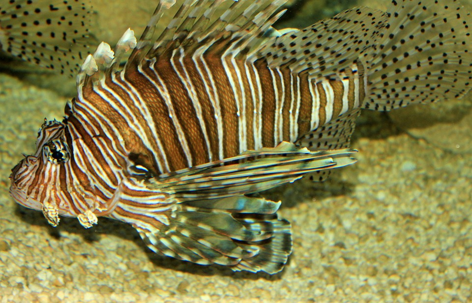lionfish, nature, florida, invasive species
