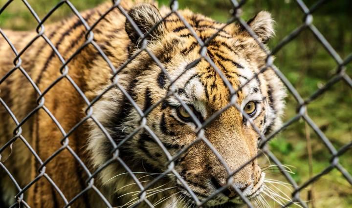 tiger, carolina tiger rescue, nature, north carolina