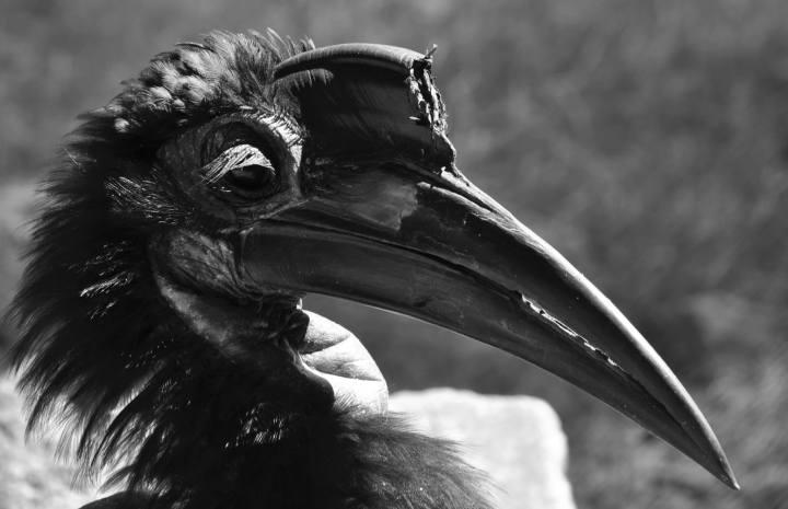 hornbill, nature, bird, birding