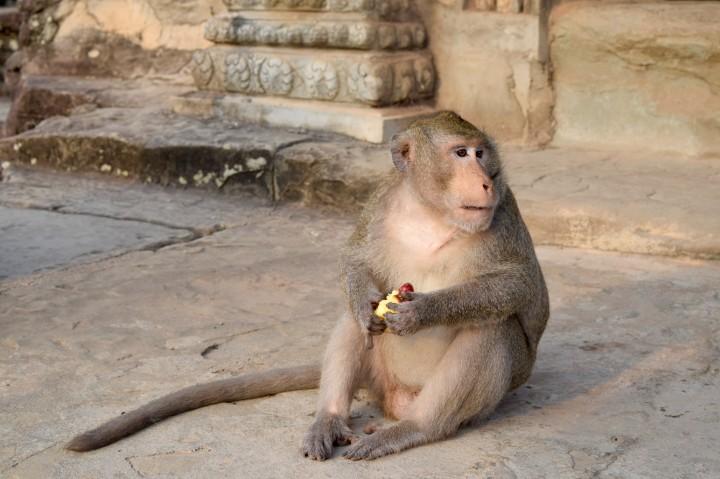 monkey, nature, wildlife