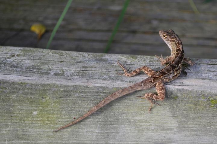 lizard, nature, landscape, florida