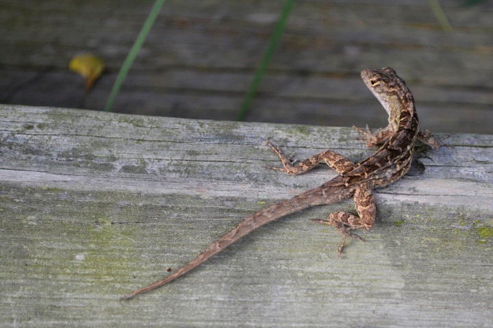 lizard, nature, landscape, florida