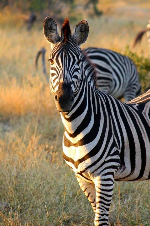 zebra, kruger national park, south africa, nature, travel