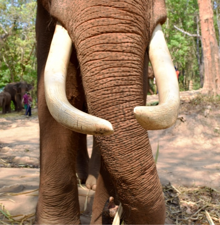 mammoth, nature, elephant