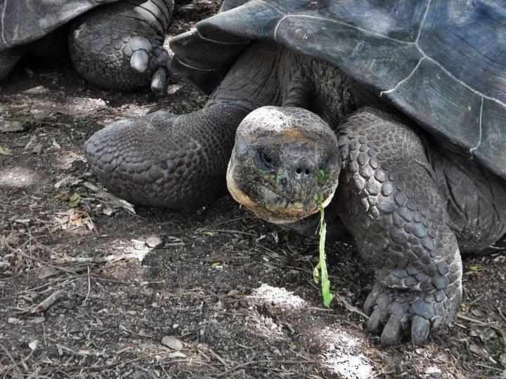 tortoise, galapagos, nature