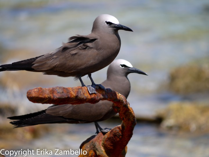 brown noddy, florida, nature