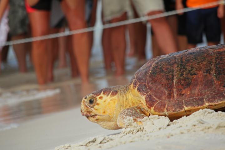 turtle, nature, florida, sea turtle