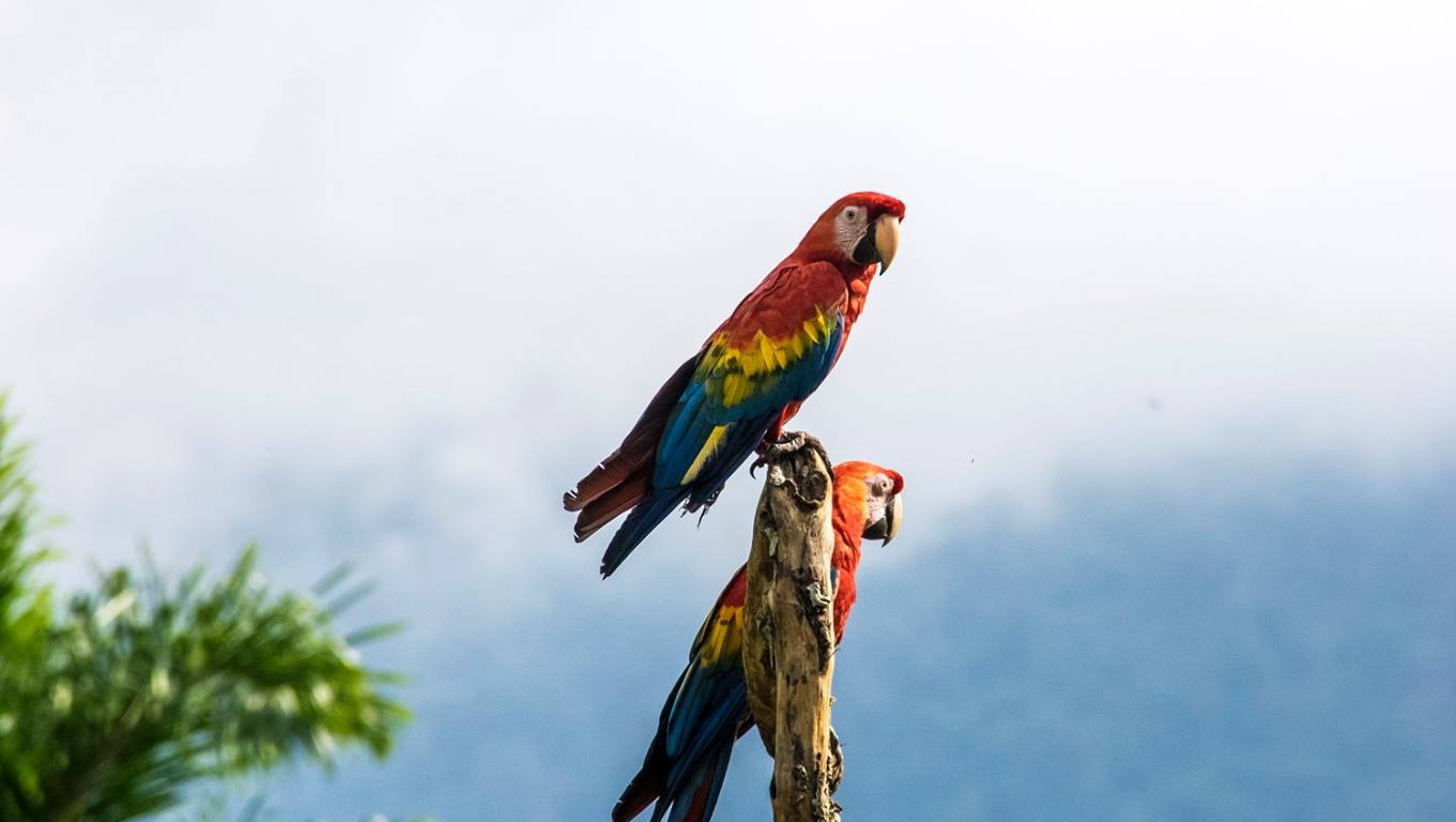 nature, scarlet macaw, travel, peru, wildlife