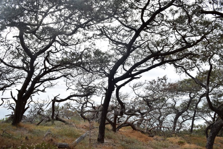 torrey pine, nature, landscape, tree