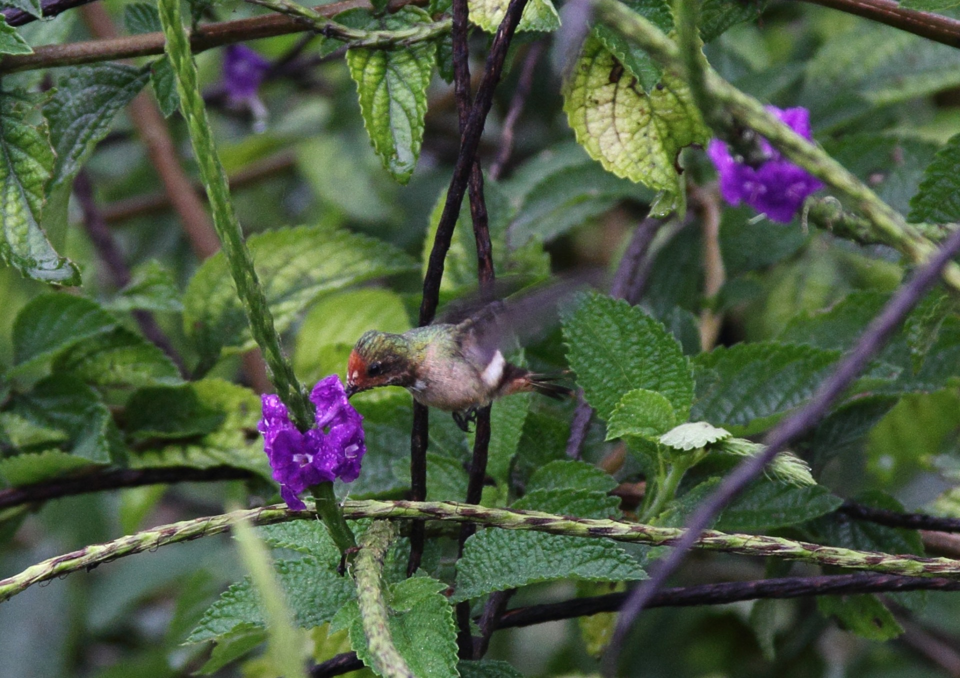 hummingbird, nature, landscape, bird
