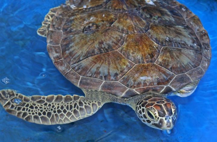sea turtle, nature, landscape, florida