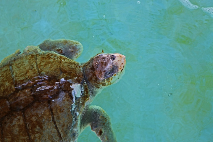 sea turtle, nature, landscape, florida