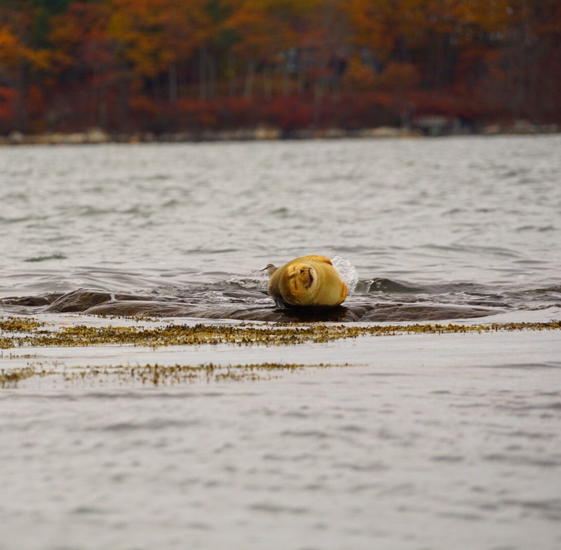 maine, seal, nature, travel