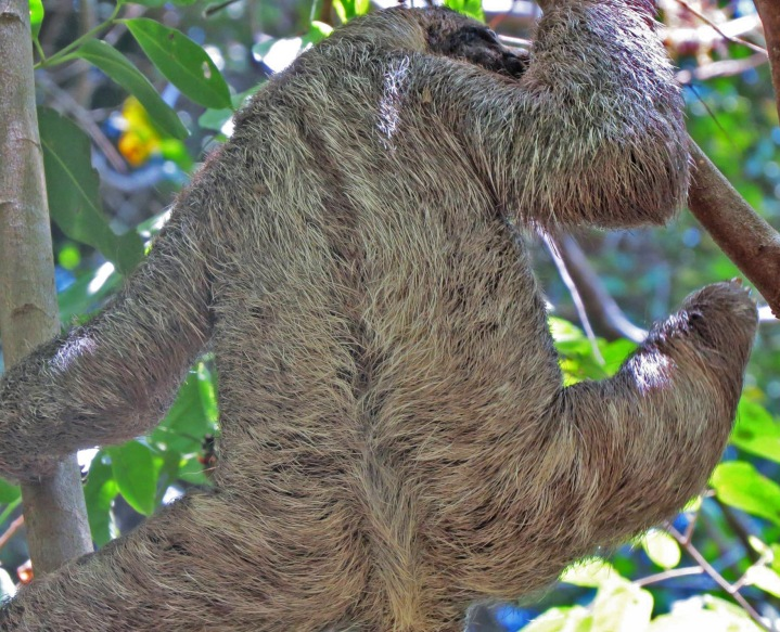 sloth, nature, costa rica