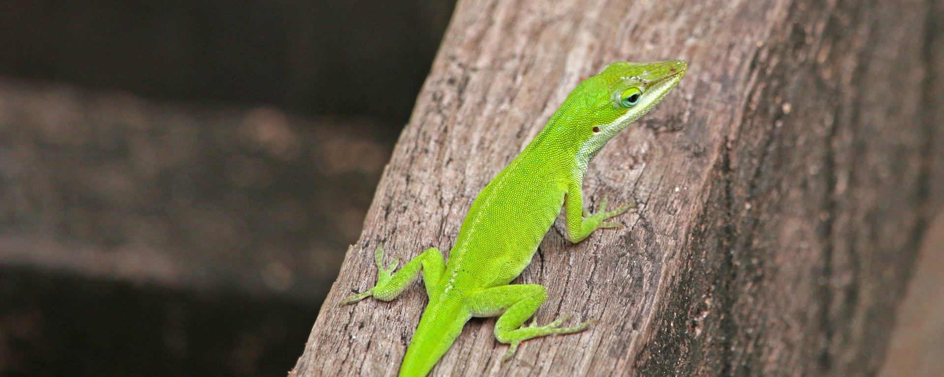 anole, wildlife, florida