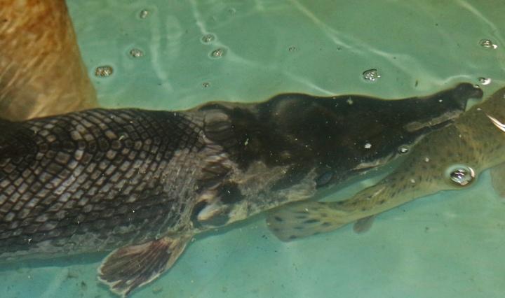 nature, florida, gar, fisheries