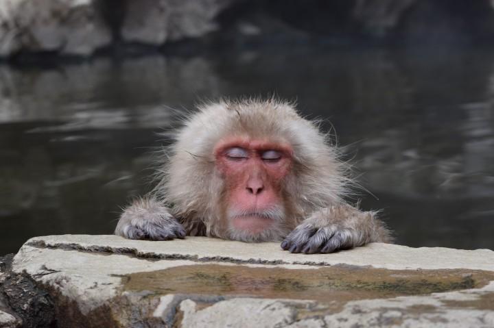 monkey, japan, travel