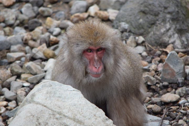 monkey, japan, nature, travel