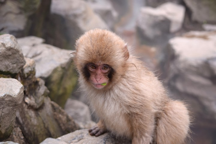 monkey, travel, nature, japan