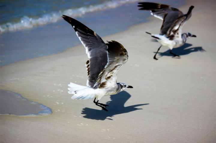 seagull, florida, nature, birding