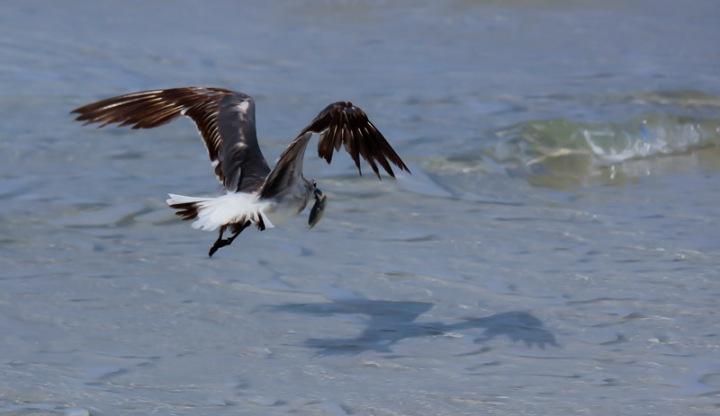 seagull, florida, nature, birding